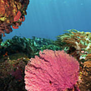 Pink Gorgonian Sea Fan, Pura Island Art Print