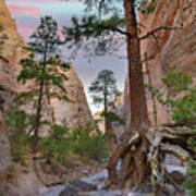 Ponderosa Pines In Slot Canyon Art Print