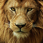 Portrait Male African Lion Art Print