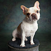 Portrait Of A French Bulldog Art Print