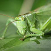Portrait Of A Great Green Bush-cricket Sitting On A Leaf Art Print