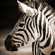 Portrait Of A Young Zebra Art Print