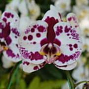 Portrait Of An Orchid Art Print