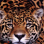 Portrait Of Jaguar, Brazil Art Print