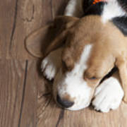 Portrait Of Young Beagle Dog Lying On Art Print
