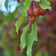 Pretty Cherries Hanging From Tree Art Print