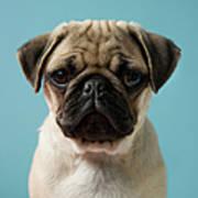 Pug Puppy Against Blue Background Art Print