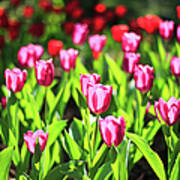 Purple And Red Tulips Under Sun Light Art Print