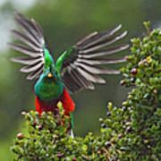 Quetzal Taking Flight Art Print
