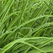 Raindrops Of Daylily Foliage Art Print