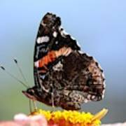 Red Admiral Butterfly 816 Art Print
