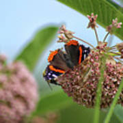 Red Admiral Butterfly On Milkweed Art Print