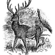 Red Deer Stag Engraving Art Print