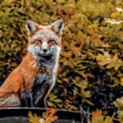 Red Fox In Fall Colors Art Print
