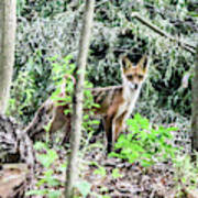 Red Fox In The Woods Art Print