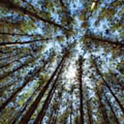 Red Pines 1 Art Print