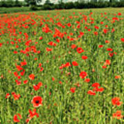 Red Poppies Meadow Art Print