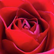 Red Rose 3 Art Print