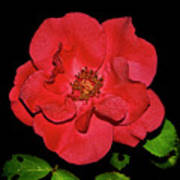 Red Rose With Dewdrops 038 Art Print