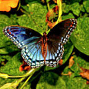 Red-spotted Purple Butterfly 017 Art Print