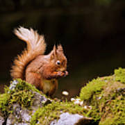 Red Squirrel Eating Nuts Art Print
