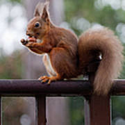 Red Squirrel Getting Ready For Winter Art Print