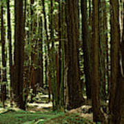Redwood Trees Armstrong Redwoods St Art Print