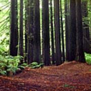 Redwoods 1 Art Print