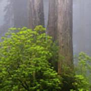 Redwoods By Crescent City 7 Art Print