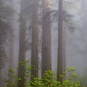 Redwoods By Crescent City 8 Art Print