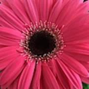 Rhapsody In Pink - Gerbera Daisy Art Print