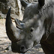 Rhinoceros With Two Horns Up Close And Personal Art Print