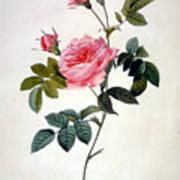 Rosa Inermis Art Print