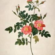 Rosa Rubiginosa Art Print