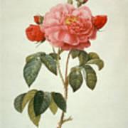 Rose La Duchesse Dorleans Art Print