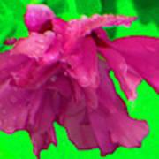 Rose Of Sharon Rain Drops Art Print