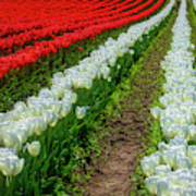 Rows Of White And Red Tulips Art Print