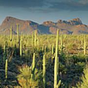 Saguaro Cactus In Sonoran Desert And Art Print