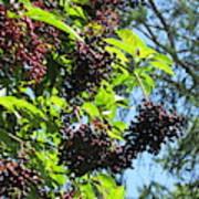 Sambucus Elderberry Sureau Art Print