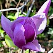 Saucer Magnolia Photograph By Dennis Schmidt