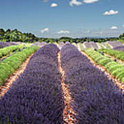 Scent Of Lavender Of Provence Art Print