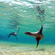 Sea Lion Swimming Underwater In Tidal Art Print