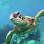 Sea Turtle, Hawaii Art Print