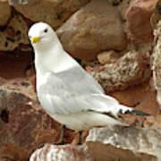 Seagull On Rock Art Print