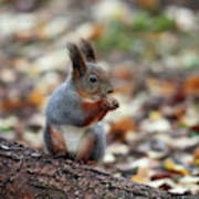 Shadow Boxing. Red Squirrel Art Print