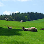 Sheep And Lambs In A Field Art Print