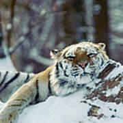 Siberian Tiger At The Bronx Zoo Is Art Print