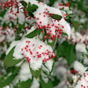 Snow Covered Winter Berries Art Print