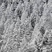 Snow On Evergreens Art Print