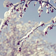 Snow On Spring Blossom Branches Art Print
